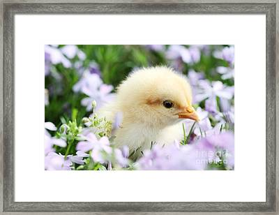 Spring Chick Framed Print