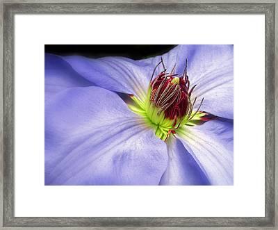 Spring Clematis Framed Print