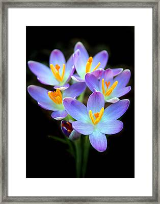 Framed Print featuring the photograph Spring Crocus by Jessica Jenney