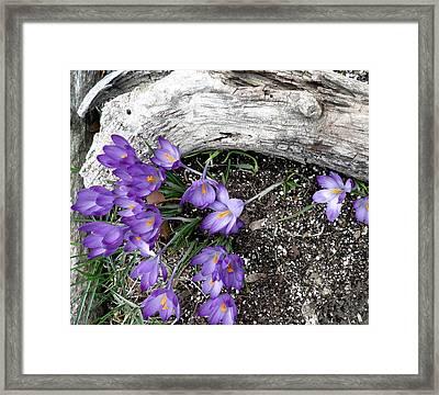 Spring Crocuses And Driftwood Framed Print