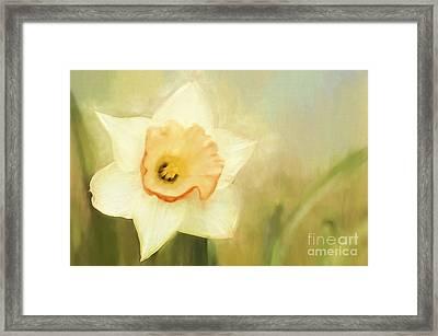 Spring Daffodil Framed Print by Darren Fisher