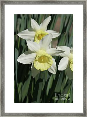 Spring Daffodil Framed Print by Judy Whitton