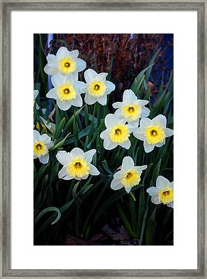 Spring Daffodills Framed Print by Jame Hayes
