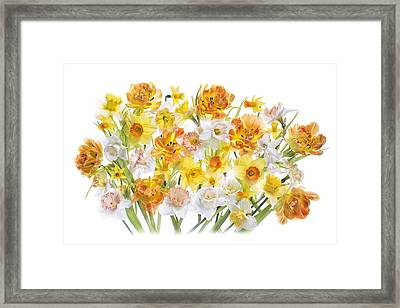 Spring Daffodils And Tulips Framed Print