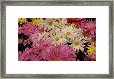 Spring Daisies Framed Print by Charlotte Gray