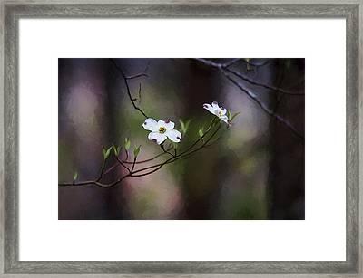 Spring Dogwood Blooms Framed Print