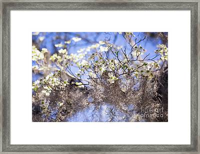 Spring Dogwood Blossoms Framed Print by Joan McCool