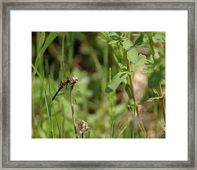 Framed Print featuring the photograph Spring Dragonfly by LeeAnn McLaneGoetz McLaneGoetzStudioLLCcom