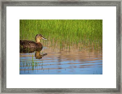 Spring Duck Framed Print by Karol Livote