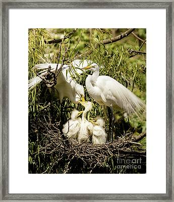 Framed Print featuring the photograph Spring Egret Chicks by Robert Frederick