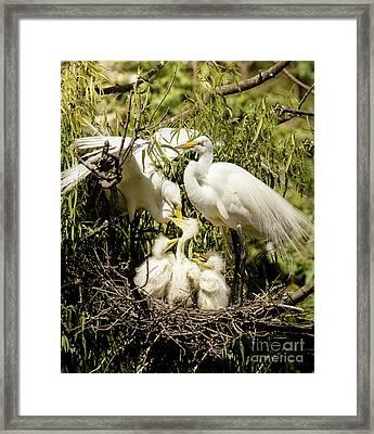 Spring Egret Chicks Framed Print by Robert Frederick