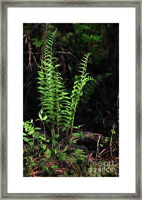 Framed Print featuring the photograph Spring Ferns by Skip Willits