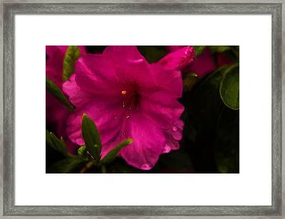 Spring Flowering Beauty - Azalea Floral Framed Print by Barry Jones
