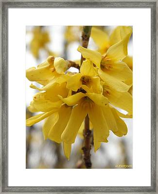 Spring Forsythia Blossoms Framed Print by Angie Runyan