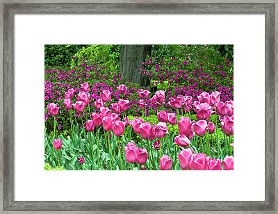 Framed Print featuring the photograph Spring Garden - Pink Tulip Border by Frank Tschakert