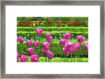 Framed Print featuring the photograph Spring Garden - Pink Tulips by Frank Tschakert