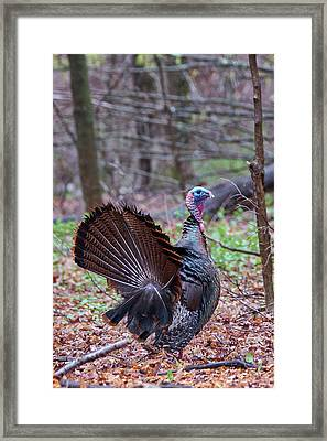 Framed Print featuring the photograph Spring Gobbler by Bill Wakeley