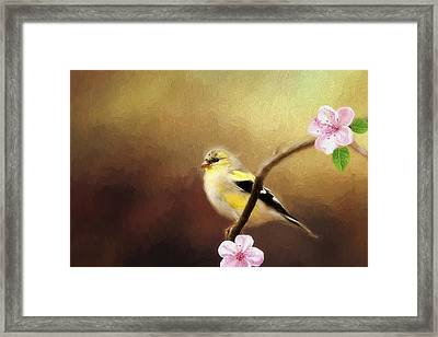 Spring Goldfinch Framed Print by Darren Fisher