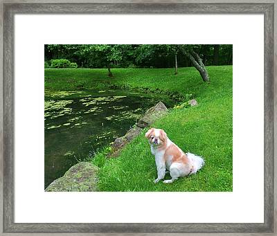 Framed Print featuring the photograph Spring Green Japanese Chin by Roger Bester