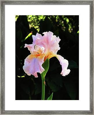 Spring Iris Framed Print by Jeanette Oberholtzer