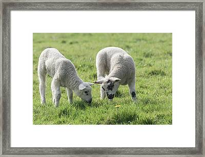 Framed Print featuring the photograph Spring Lambs by Scott Carruthers