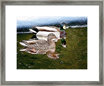 Spring Mallard Print Framed Print