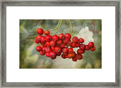 Spring Mountain Ash Berries  Framed Print