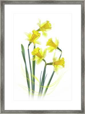 Spring Narcissus Framed Print by Jacky Parker