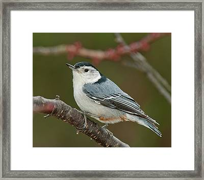 Framed Print featuring the photograph Spring Nuthatch 2017 by Lara Ellis
