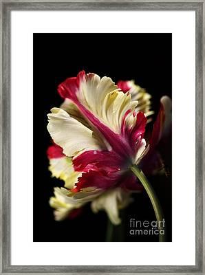 Spring Parrot Tulip Framed Print
