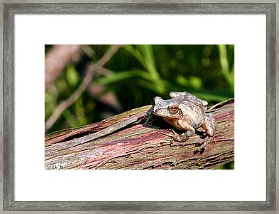 Spring Peeper Framed Print by Betsy LaMere
