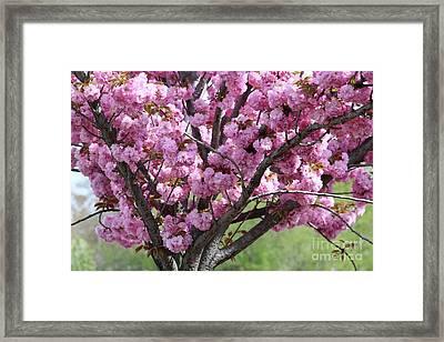 Spring Pink Cherry Tree Framed Print by Carol Groenen