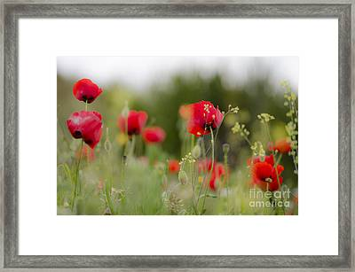 Spring Poppies  Framed Print by Perry Van Munster
