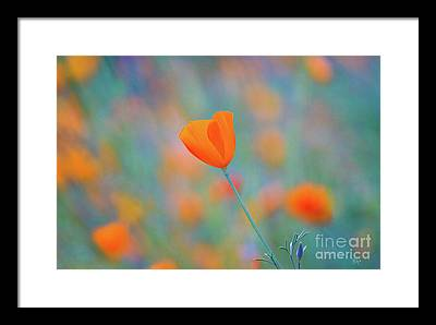 Blue Poppy Framed Prints