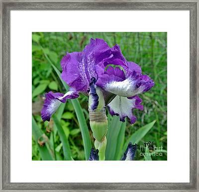 Spring Purple Iris Framed Print by Marsha Heiken