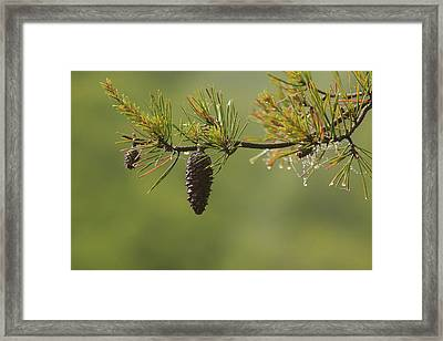 Spring Rain And Pinecone Framed Print