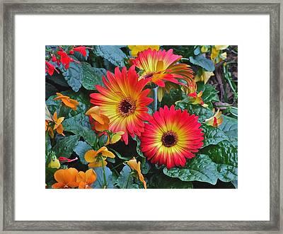 Spring Show 14 Gerbera Daisy 1 Framed Print