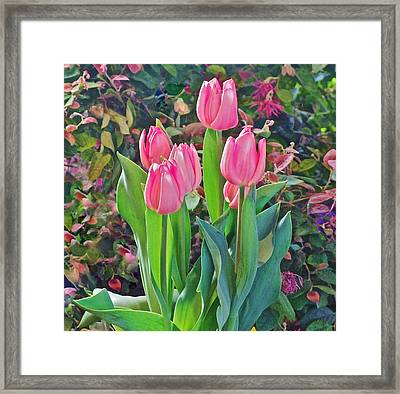 Spring Show 14 Pink Tulips  Framed Print