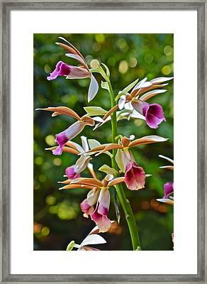 Spring Show 15 Nun's Orchid 1 Framed Print