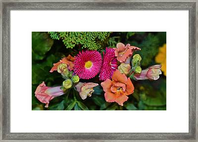 Spring Show 15 Snapdragons And English Daisy Framed Print by Janis Nussbaum Senungetuk