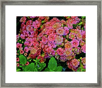 Framed Print featuring the photograph Spring Show 18 Double Pink Kalanchoe by Janis Nussbaum Senungetuk
