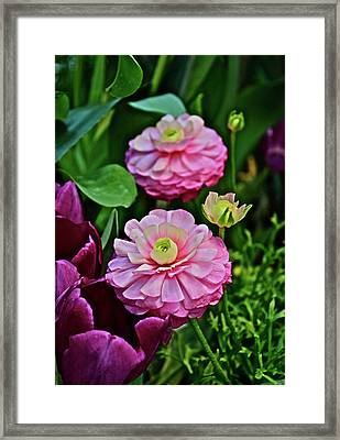 Framed Print featuring the photograph Spring Show 18 Pink Ranunculus 1 by Janis Nussbaum Senungetuk