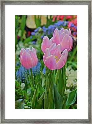 Framed Print featuring the photograph Spring Show 18 Pink Tulip Welcome by Janis Nussbaum Senungetuk