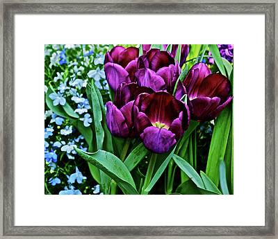 Framed Print featuring the photograph Spring Show 18 Red Violet Tulips And Lobelia by Janis Nussbaum Senungetuk