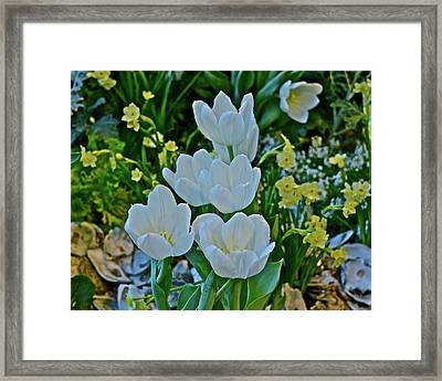 Framed Print featuring the photograph Spring Show 18 White Tulips And Minnow Daffodils by Janis Nussbaum Senungetuk