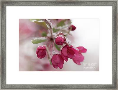 Framed Print featuring the photograph Spring Snow by Ana V Ramirez