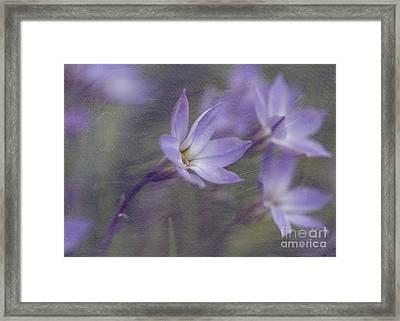 Spring Starflower Framed Print by Eva Lechner