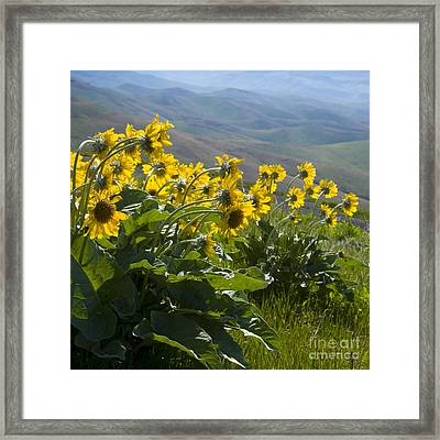 Spring Sunflowers Framed Print by Idaho Scenic Images Linda Lantzy