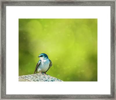 Spring Swallow Framed Print