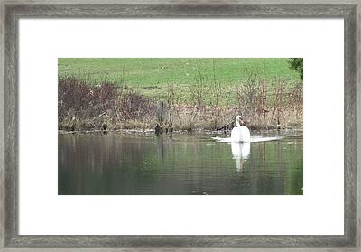 Framed Print featuring the photograph Spring Swan by Wendy Shoults